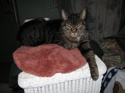 image of tabby cat