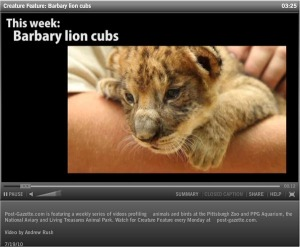 barbary lion cub video