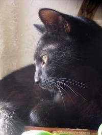profile of black cat