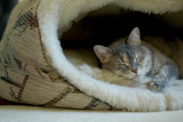dilute tortoiseshell cat in cat bed