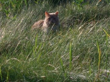 wild cat closeup