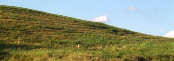 wild cat in field