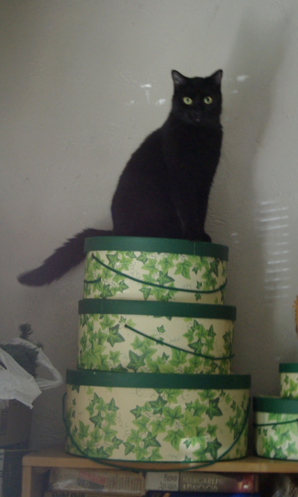 black cat on ivy containers