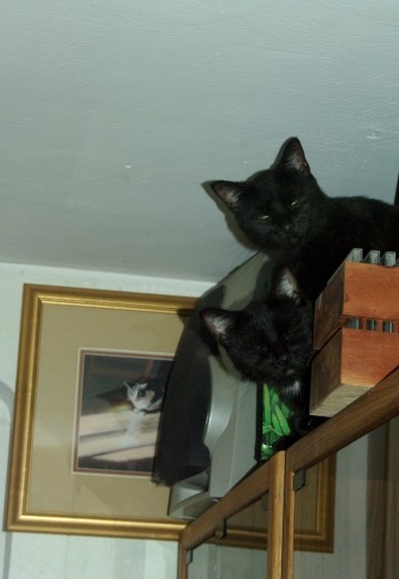 two black cats on top of shelf