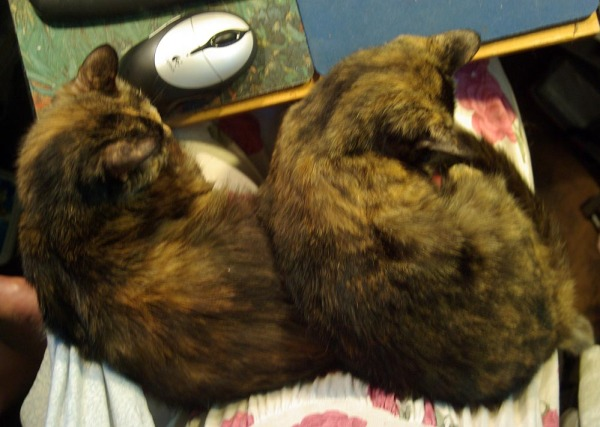 two tortie cats on my lap