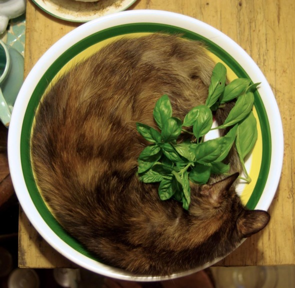 photo of cat in pasta bowl