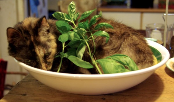 cat in pasta bowl front view