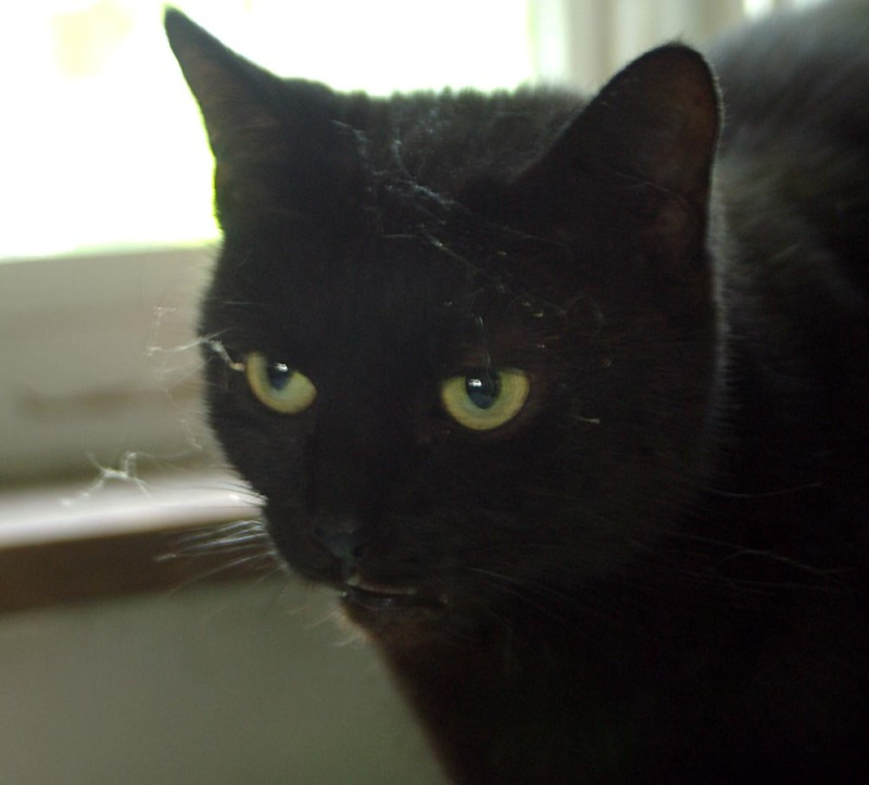 black cat with cobwebs on her face