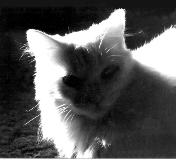 black and white photo of white cat