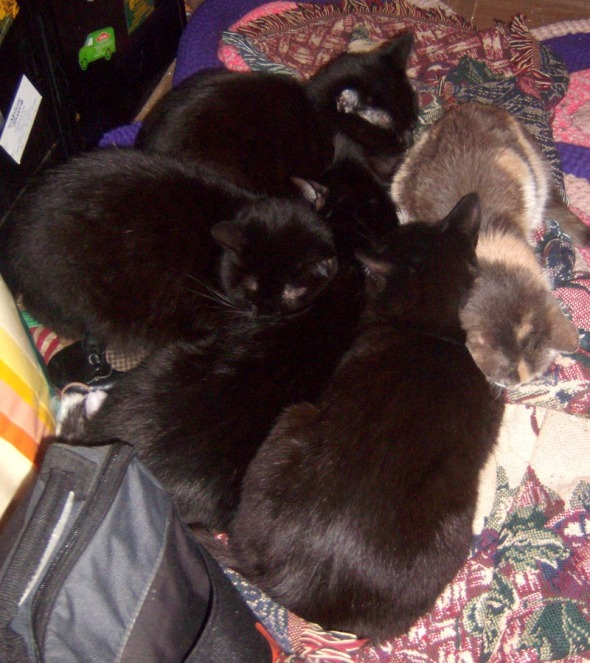 four black cats and calico
