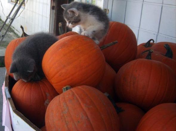 pumpkins with kittens