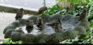 sparrows in birdbath