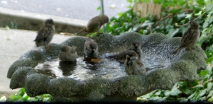 sparrows in birdbath