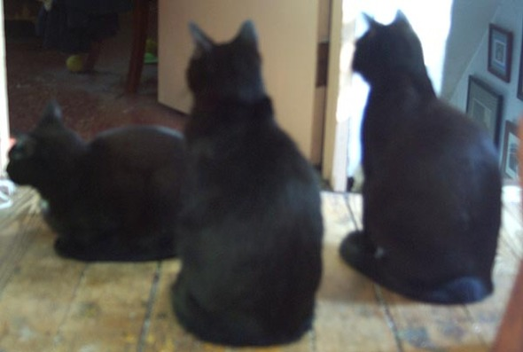 three black cats