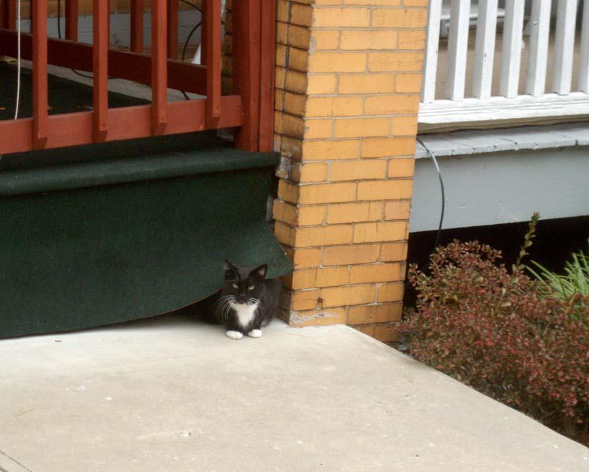 tuxedo cat under porch