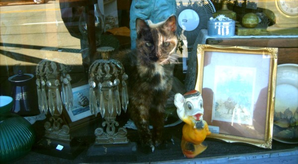 tortie cat in shop window