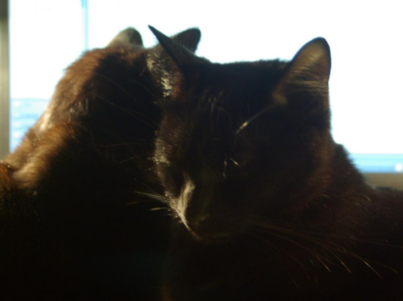 two black cat faces