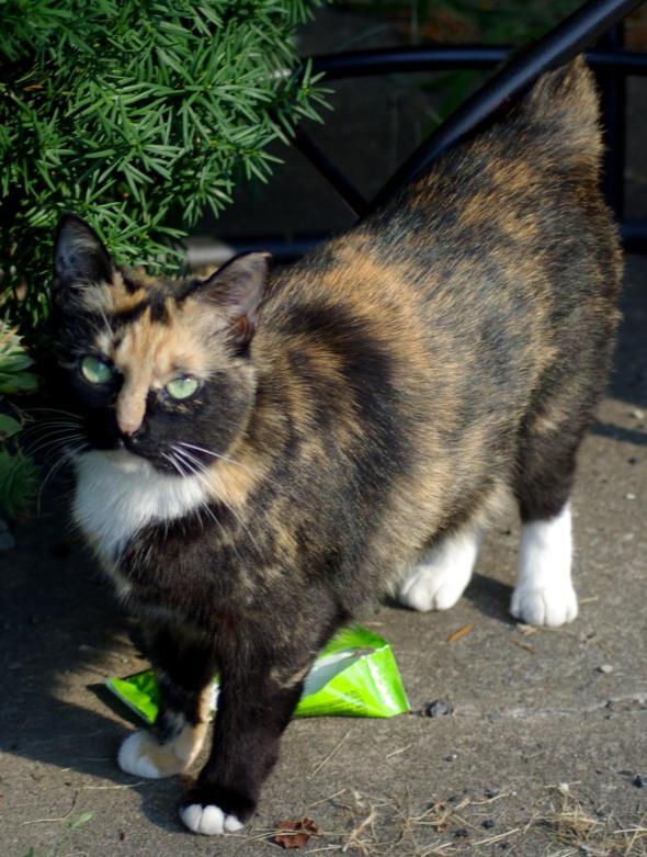 calico cat standing