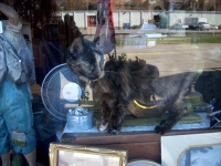 cat in shop window