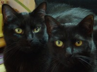 two black cats with round gold eyes