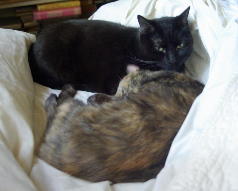 tortoiseshell and black cat