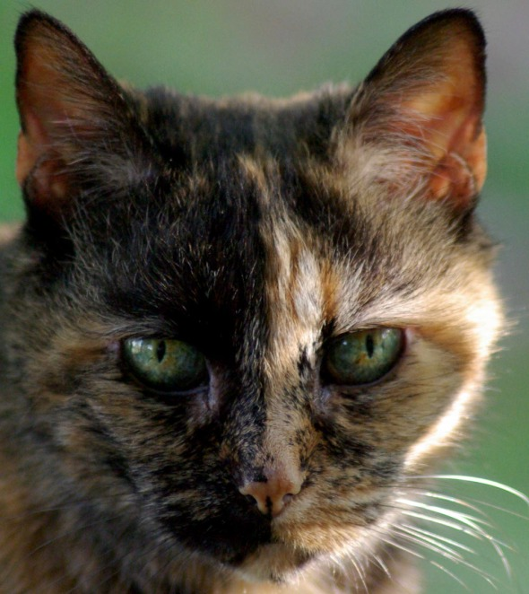 closeup of tortoiseshell cat