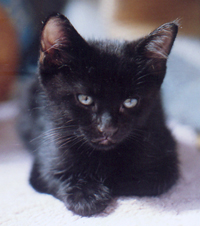 young black kitten