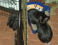 bunnies in cages