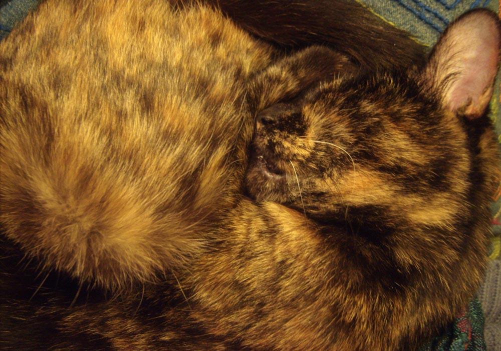 tortoiseshell cat curled sleeping