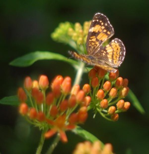 silvery checkerspot on butterflyy weed