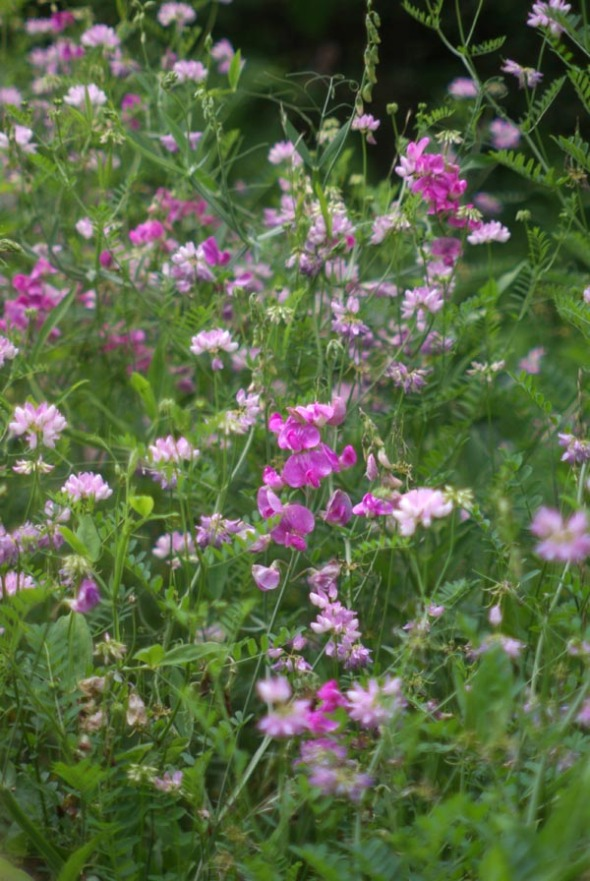 sweet peas and vetch