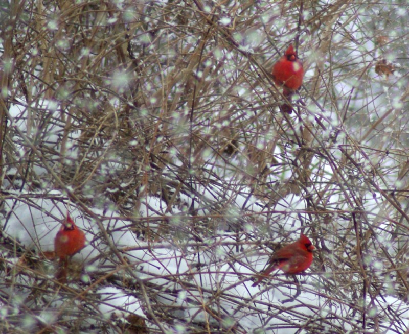 three cardinals in snow branches