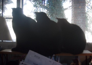 three black cats looking out window