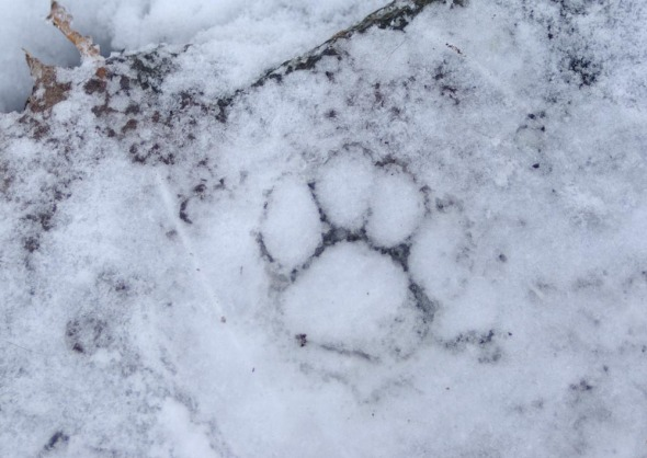 pawprint in ice with snow