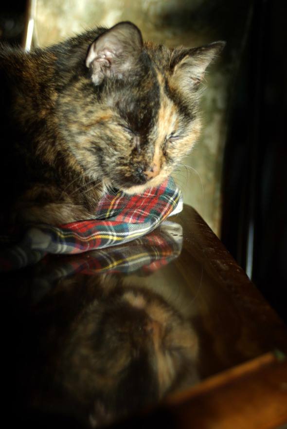 tortoiseshell cat napping in the sun
