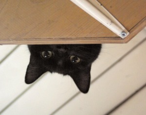 black cat looking down from shelf
