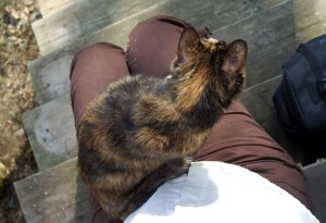 tortoiseshell cat on lap