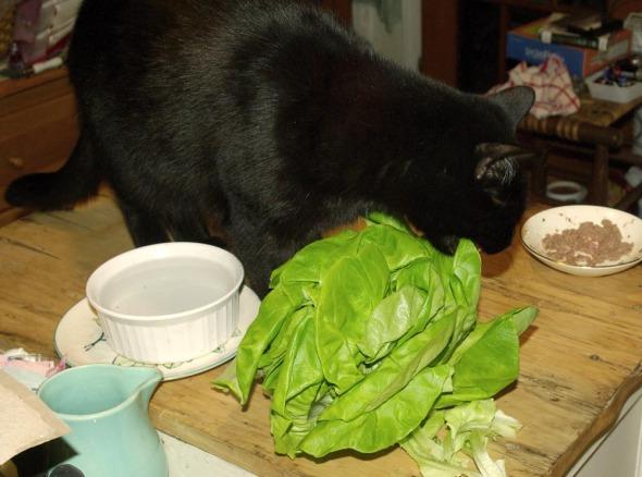 black cat enjoys lettuce