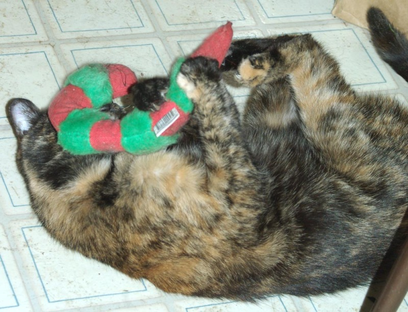 tortoiseshell cat plays with catnip toy