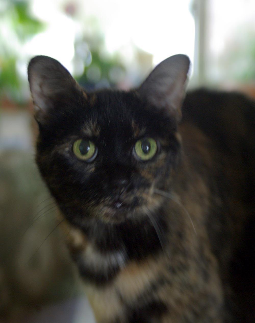 tortoiseshell cat with green eyes