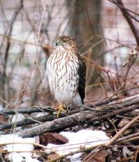 cooopers hawk