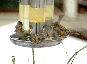 sparrows at feeder