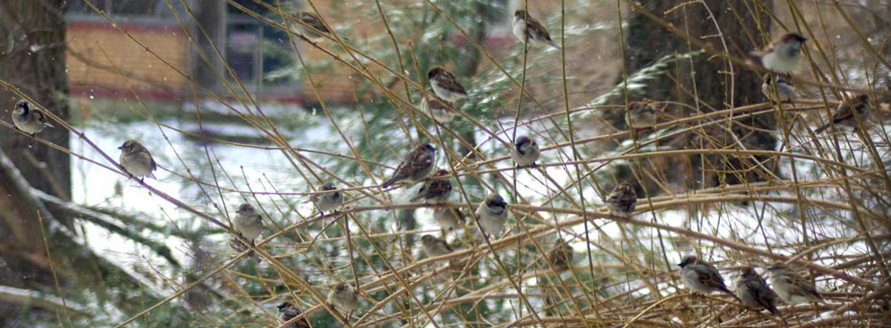sparrows in shrub