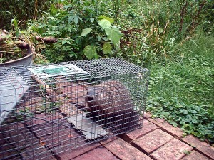 groundhog in cage