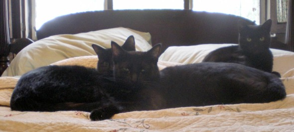 black cats curled together