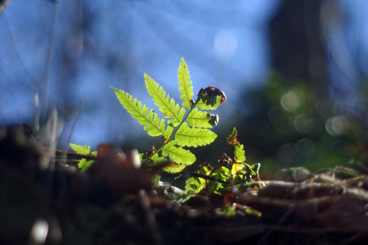 fern frond in the woods