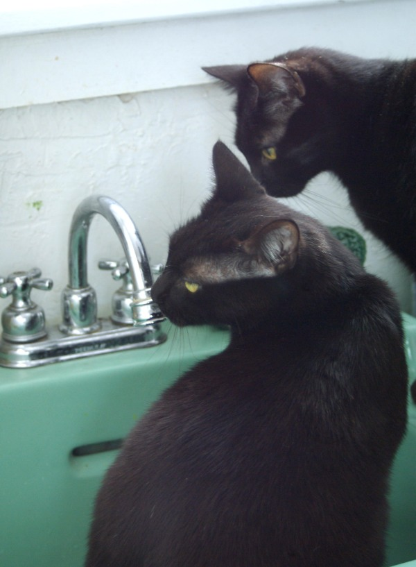 two black cats staring at faucet