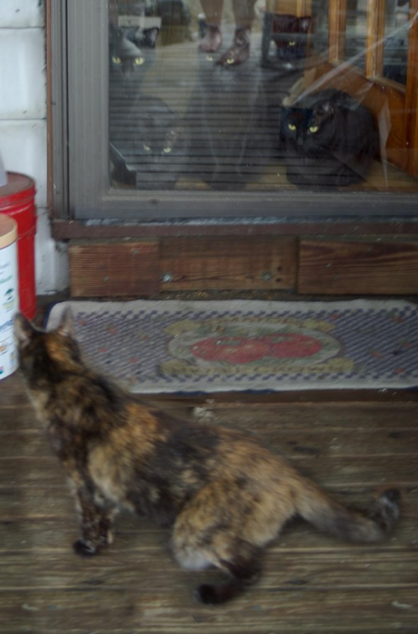 tortoiseshell cat and five black cats