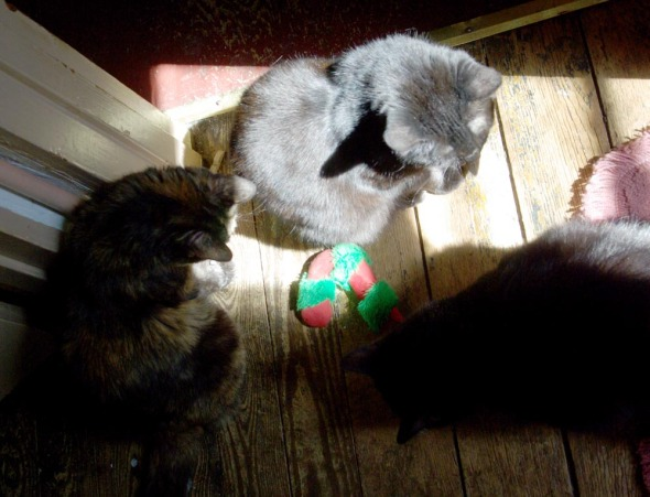 three cats with catnip toy
