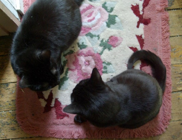 two black cats staring at each other